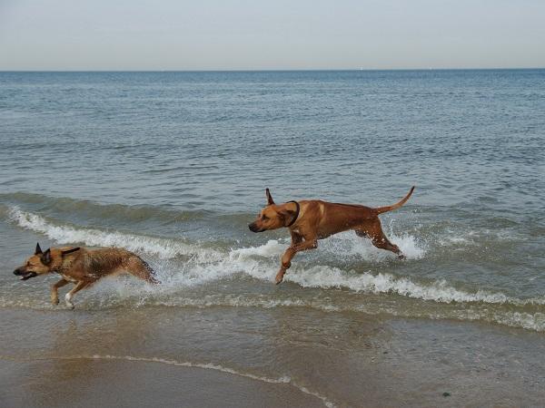 In den Niederlanden können auch Hunde am Strand Spaß haben.