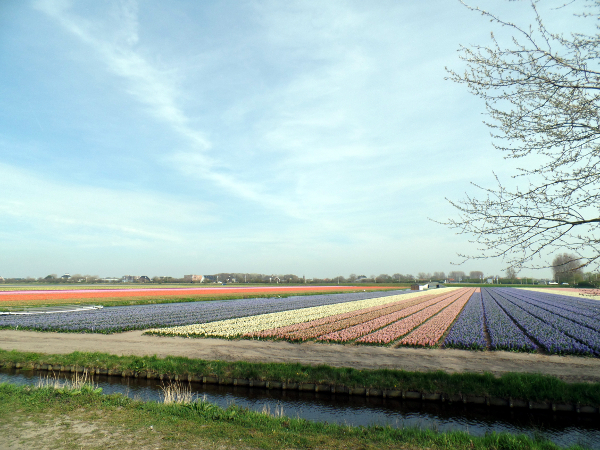 blühende Tulpenfelder in Richtung Noordwijk