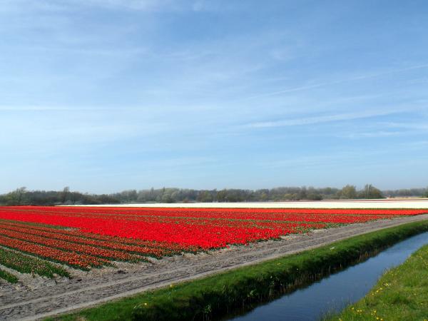 die blühenden Tulpenfelder in Richtung Noordwijk