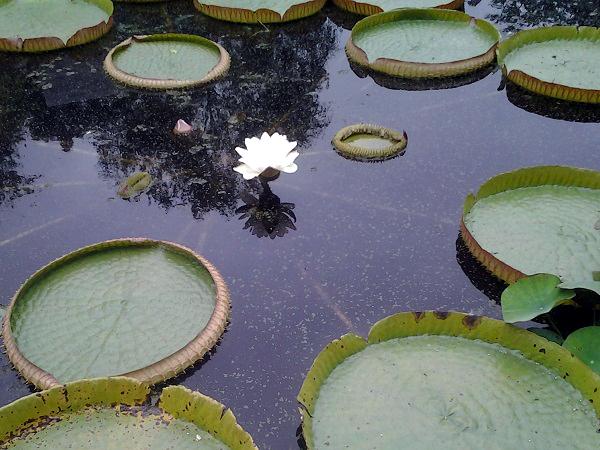 die Victoria-Blüte im Hortus Botanicus Amsterdam