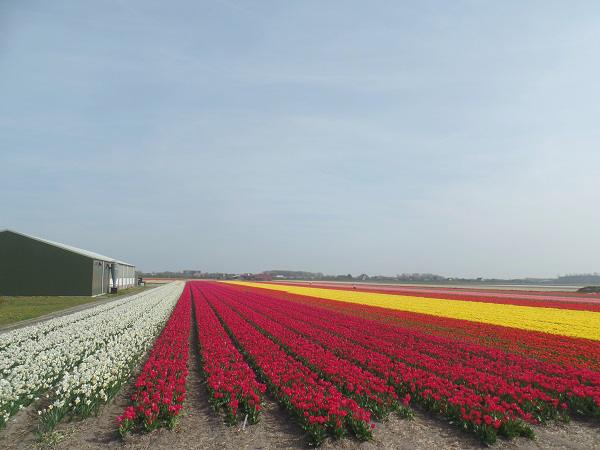 die blühenden Tulpenfelder