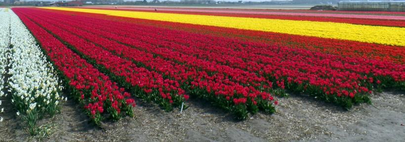 Die Tulpenblüte in NL