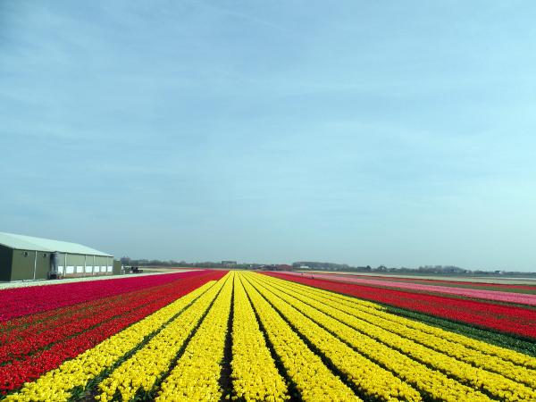 die Tulpenpracht in NL