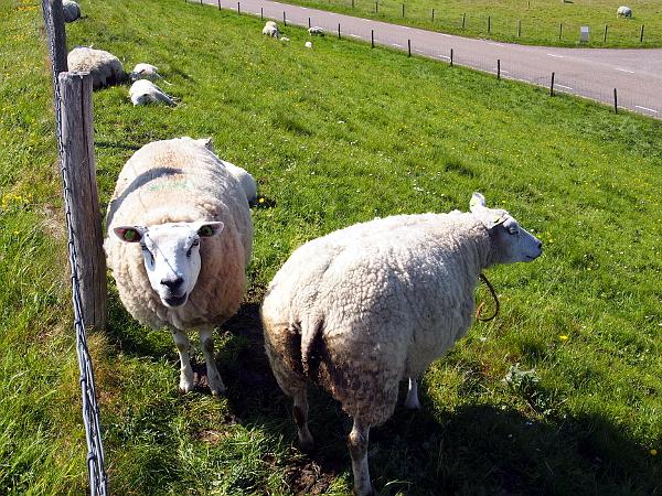 Texel - Insel der Schafe