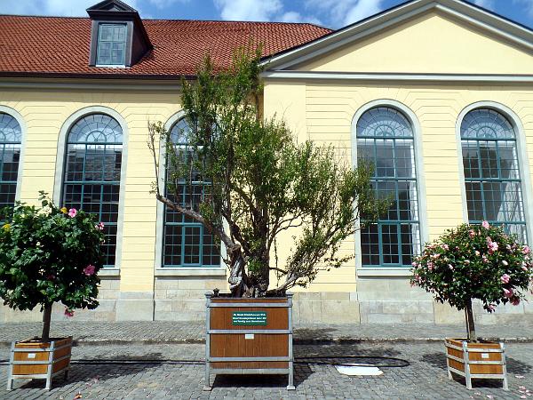 Der Granatapfelbaum in Herrenhausen - die älteste Kübelpflanze der Welt