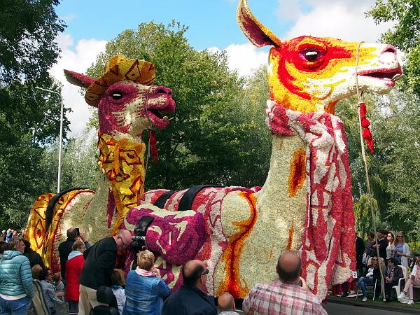 Die Lamas vom jüngsten Designer beim Blumenkorso in Lichtenvoorde