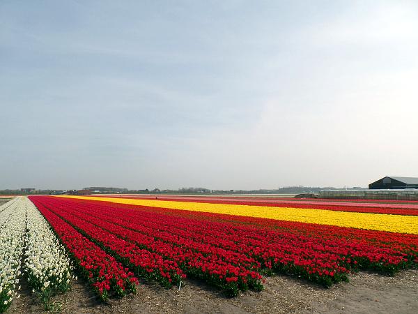blühende Tulpenfelder im Frühling