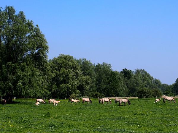 Erfgoedfestival 2018: Wildpferde in Beuningen